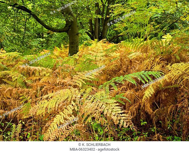 Germany, Mecklenburg-Western Pomerania, Western Pomerania Lagoon Area National Park, Darss Forest, centennial beech in fern forest, early autumn
