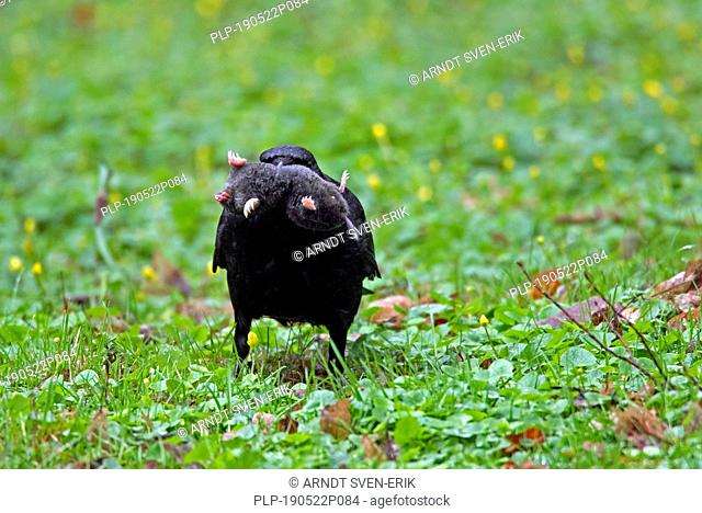 Carrion crow (Corvus corone) on the ground in grassland with dead European mole (Talpa europaea) in beak