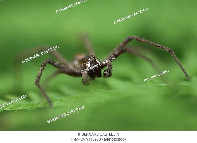 nursery web spider Pisaura mirabilis - Brasschaat, Antwerp, Flanders, Belgium, Europe