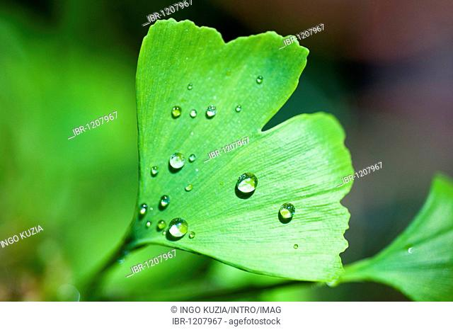 Ginkgo leaf (Ginkgo biloba), covered with water drops