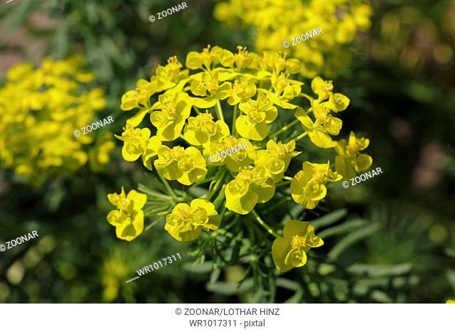 Euphorbia cyparissias, Cypress Spurge