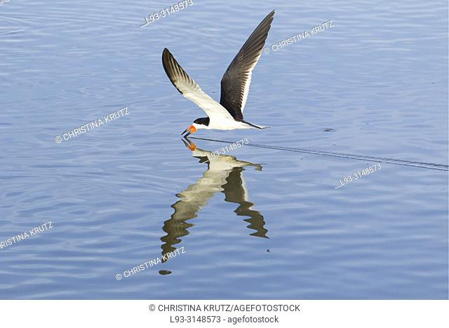 Black Skimmer (Rynchops niger) flying above water, Brazil, Mato Grosso, Pantanal