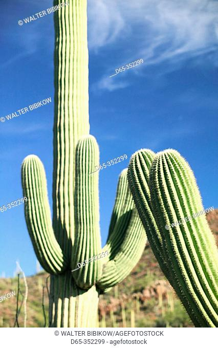 Saguaro Cactus, Saguaro National Park (West). Tucson. Arizona, USA