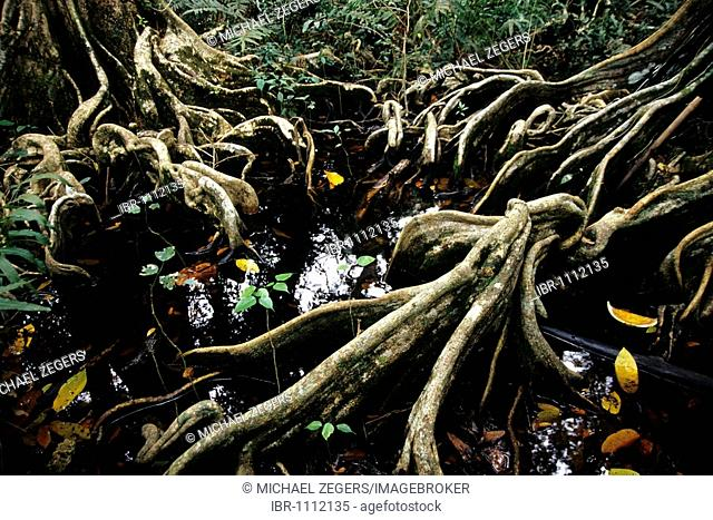 Tree roots in a Mangrove forest in a national park, Parque Nacional Cahuita on the Caribbean coast, Caribbean, Costa Rica, Central America
