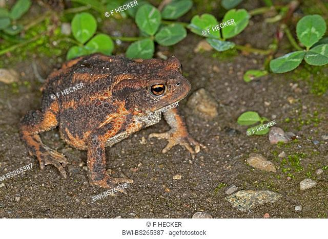 European common toad Bufo bufo, sitting on the ground, Germany