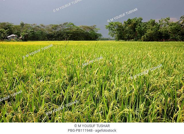 A paddy field at Rajshahi district of Bangladesh
