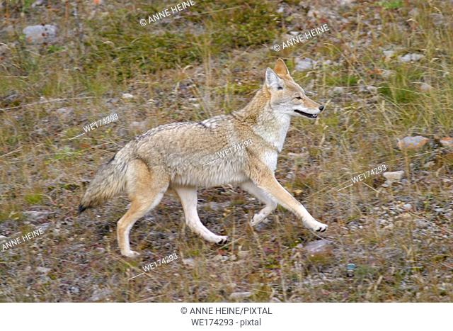 Wild running coyote in profile, Canadian Rockies, Alberta, Canada
