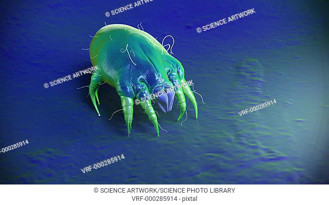 Dust mite. Animation of a dust mite (Dermatophagoides sp.) walking across a surface. Millions of dust mites inhabit the home, feeding on shed skin cells