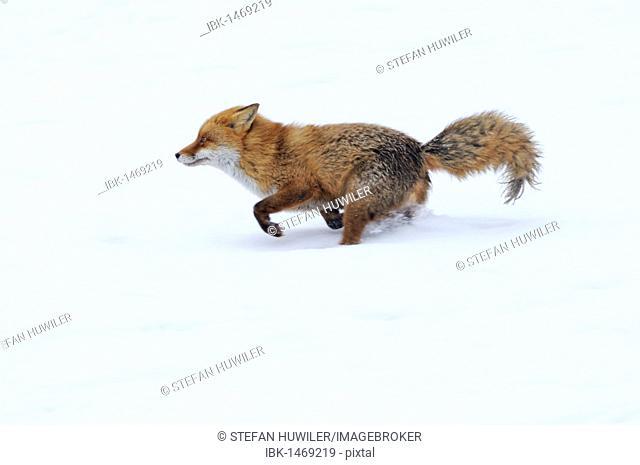 Red fox (Vulpes vulpes) fleeing