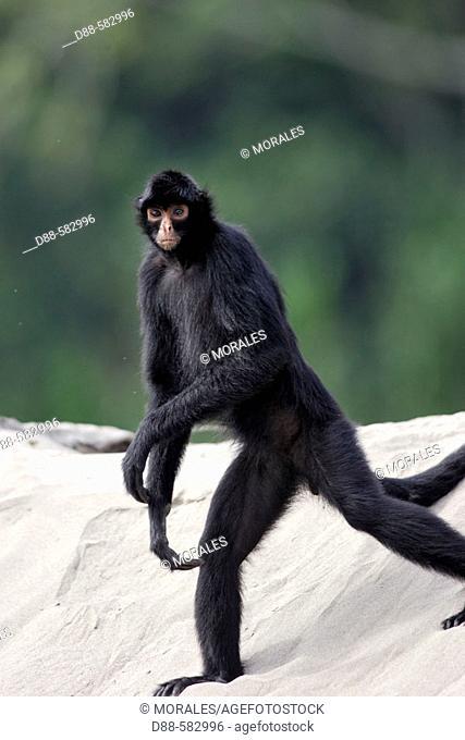 Black Spider Monkey (Ateles paniscus) on the Madre de Dios river. Peru