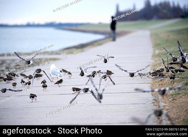 10 February 2021, Lower Saxony, Wilhelmshaven: Laughing gulls (Chroicocephalus ridibundus) and turnstones (Arenaria interpres) fly and run over a path on the...