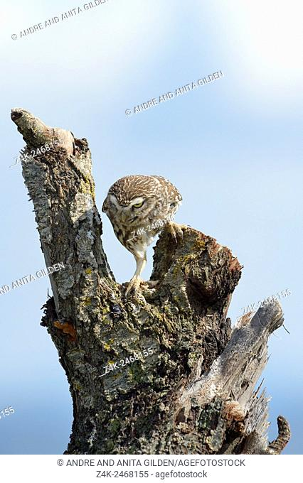 Little Owl (Athene noctua) climbing on a treetrunk at sunrise