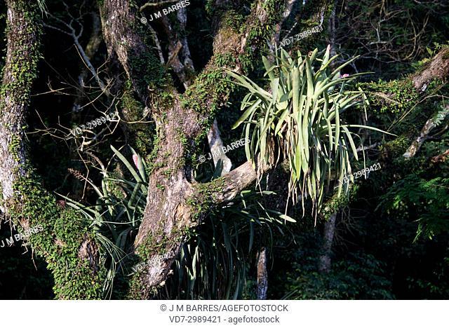 Epiphytes bromeliads (Aechmea bracteata) in the Iguazu rainforest (Argentina)