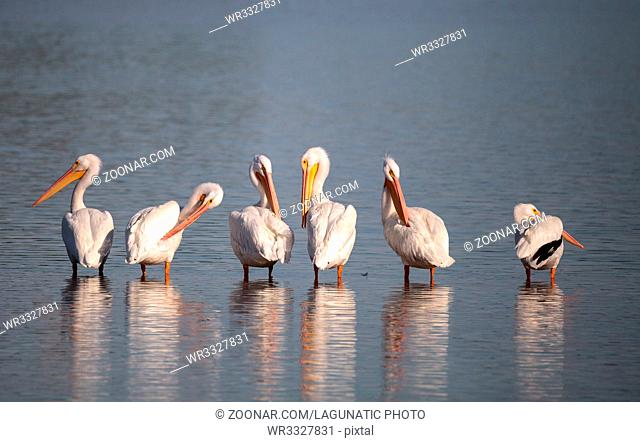 American white pelican Pelecanus erythrorhynchos in a marsh on Sanibel Island, Florida