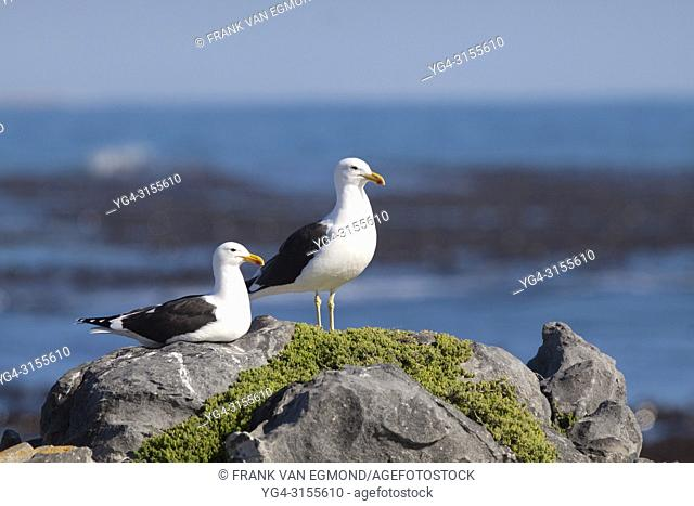 Kelp Gull (Larus dominicanus), Gansbaai, South Africa
