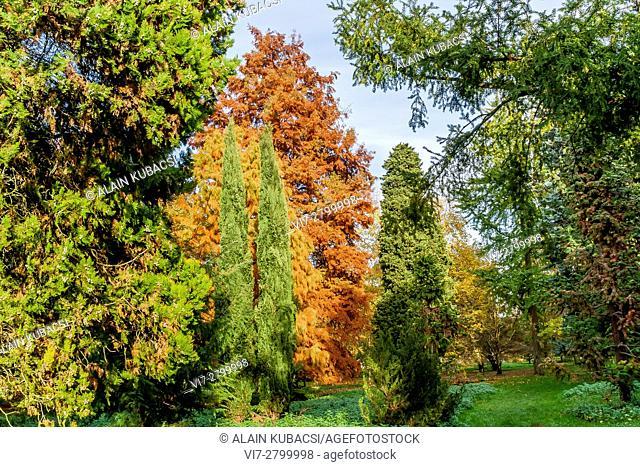 Bald-Cypress tree, Mediterranean cypress, Arboretum de l'Ecole du Breuil, Paris, France