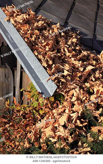 many autumn leaves gathered at roof and gutter of a shed