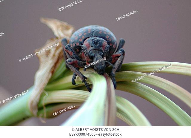 Rüsselkäfer auf Crinum 2