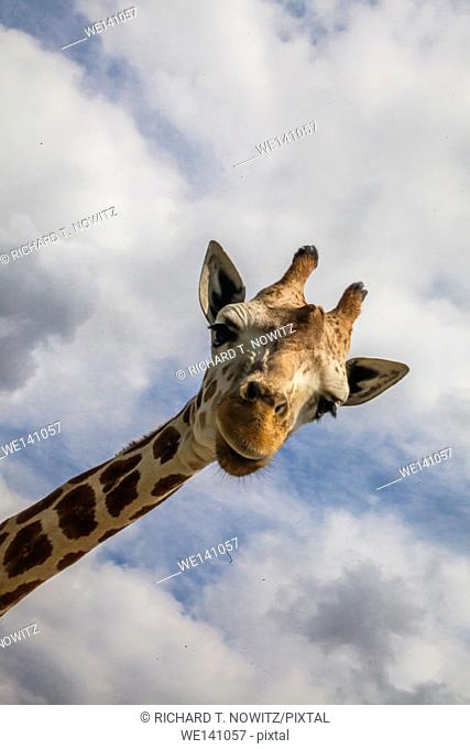 wide angle view of Giraffe looking into the camera in Lion Country Safari
