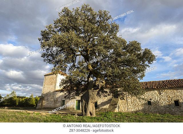 One-hundred year holm oaks (Quercus ilex). Los Pozuelos. Almansa. Albacete province. Spain