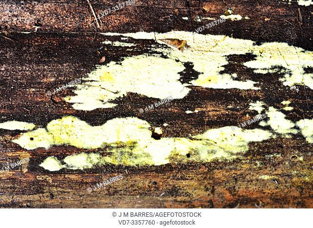 Leucogyrophana mollusca or Merulius molluscus is a wood decomposer fungus. This photo was taken near Cantavieja, Teruel province, Aragon, Spain