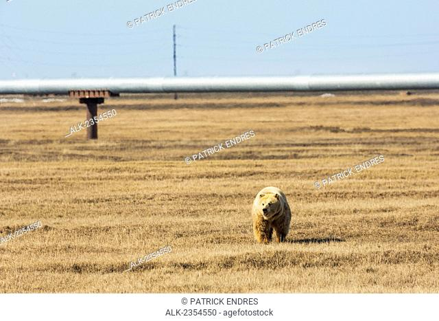 Grizzly bear walks across the tundra in the Prudhoe Bay oil fields on Alaska's Arctic North Slope
