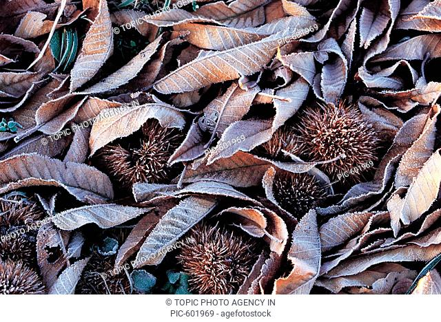 Close-up Of Frosted Leaves And Chestnut Bur