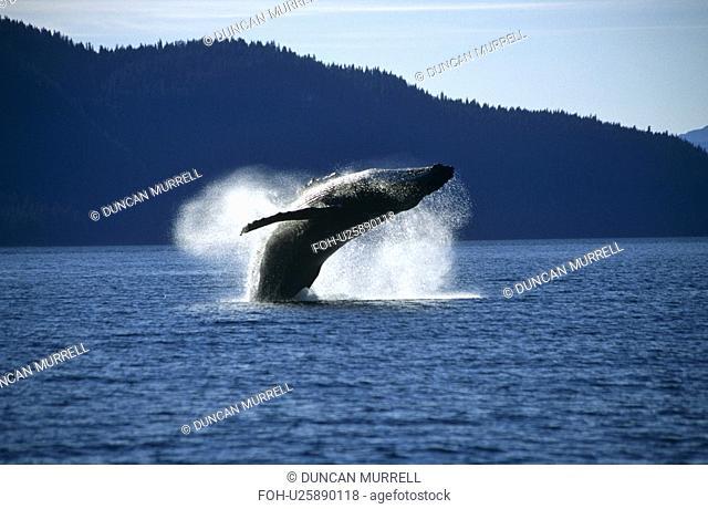 Humpback Whale breaching Megaptera novaeangliae.Tenakee Inlet, S. E. Alaska