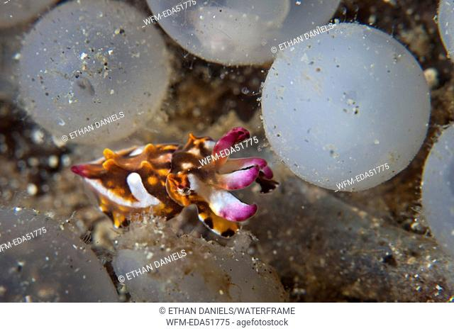Flamboyant Cuttlefish hatches of its Egg, Metasepia pfefferi, Lembeh Strait, North Sulawesi, Indonesia