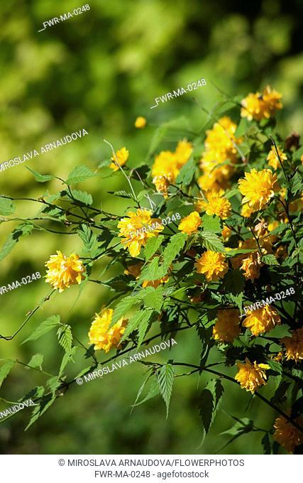 Kerria, Kerria japaonica 'Pleniflora', Yellow coloured flower growing outdoor