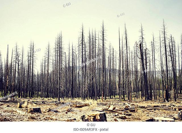 Bare trees, Yosemite National Park, California, USA