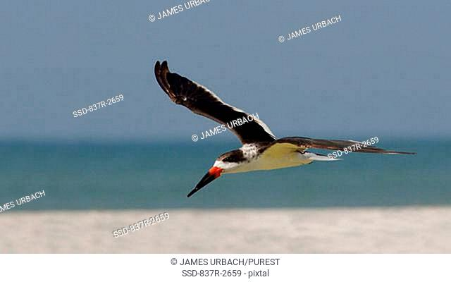 Side profile of a Black Skimmer flying Rynchops niger