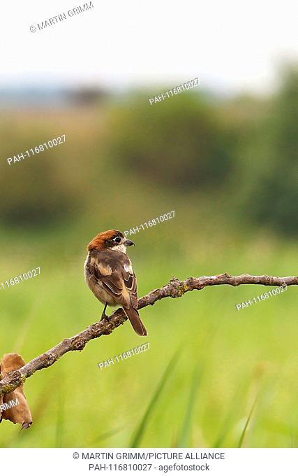 Woodchat Shrike (Lanius senator), male perched on branch in meadow, Bavaria, Germany | usage worldwide. - /Bayern/Germany