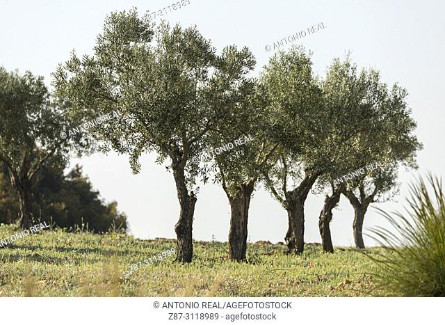 Olive trees (Olea europaea). Almansa. Albacete. Spain