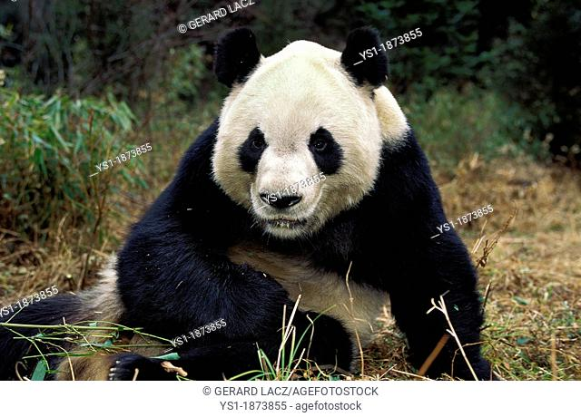 Giant Panda, ailuropoda melanoleuca, Adult sitting, Wolong Reserve in China