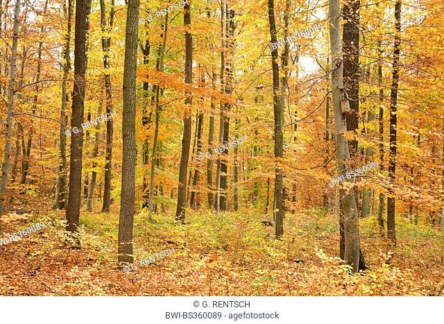 mixed deciduous forest in autumn, Germany