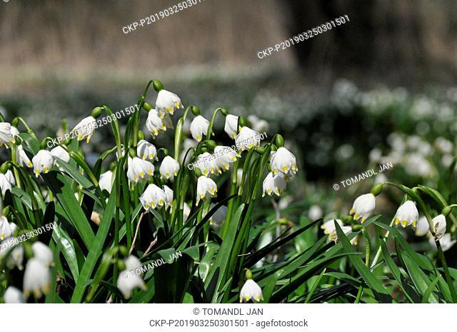 Thousands of Spring snowflakes (Leucojum vernum) bloom near Racice-Pistovice Village, Czech Republic on March 24, 2019. (CTK Photo/Jan Tomandl)
