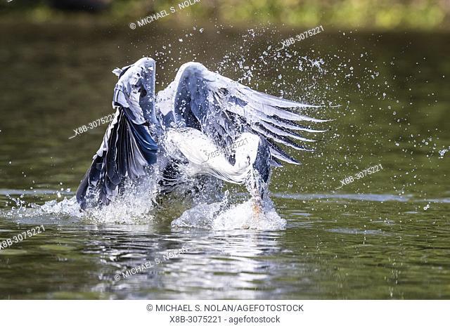 An adult cocoi heron, Ardea cocoi, fishing. Pousado Rio Claro, Mato Grosso, Brazil