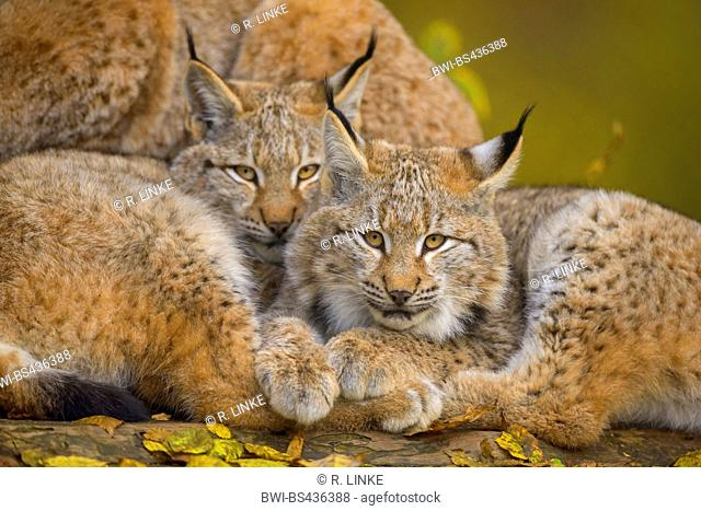 northern lynx (Lynx lynx lynx), two kittens, Germany