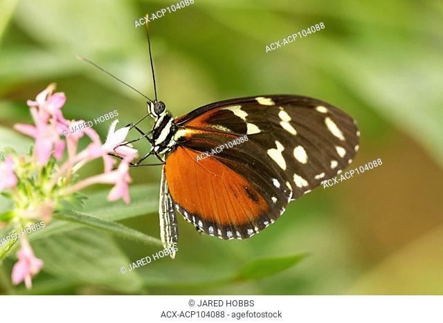 Cream-spotted Longwing, Tithorea tarricina, Butterfly, Central America, Costa Rica