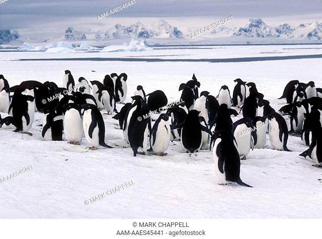 Adelie Penguins (Pygoscelis adeliae) Anvers Is., Antarctica
