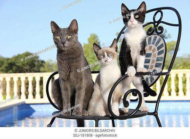Domestic cat. Three young cats (3 month old) sitting on a garden chair next to a swimming pool
