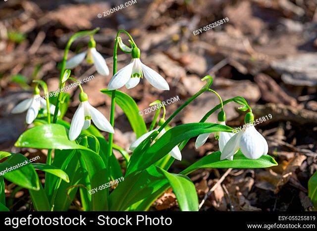 White spring flowers snowdrops in the forest