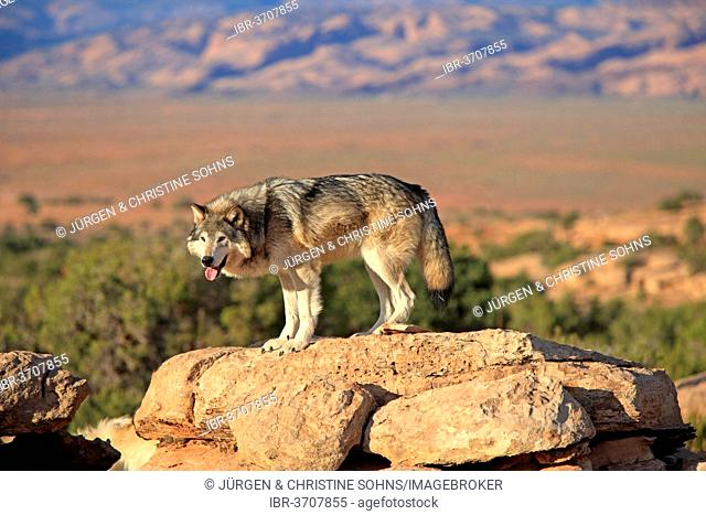 Wolf (Canis lupus), adult, Monument Valley, Utah, United States