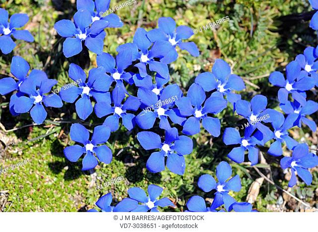 Short-leaved gentian (Gentiana brachyphylla or Gentiana verna brachyphylla) is a herb native to Alps and Pyrenees. This photo was taken in Swiss Alps
