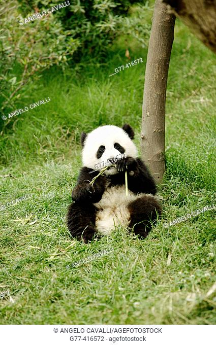Giant Panda (Ailuropoda melanoleuca) at the Giant Panda Breeding Center of Chengdu. Sichuan, China