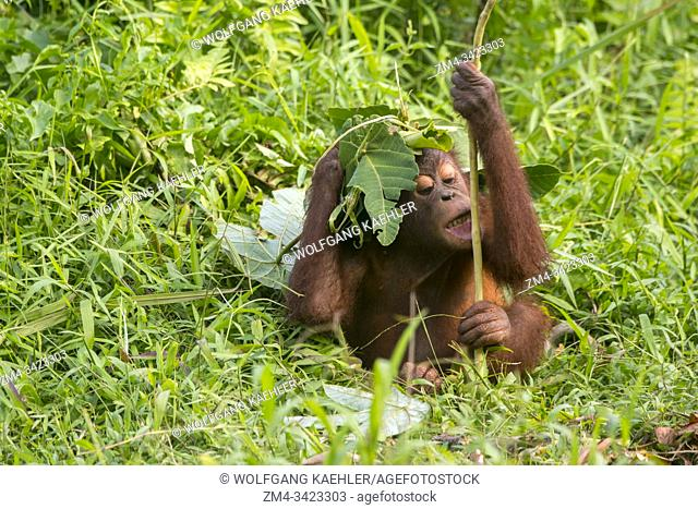 A playful 2 year old baby boy Orangutan (Pongo pygmaeus) on an Orangutan Island (designed to help the orangutans in their rehabilitation) at Samboja near...