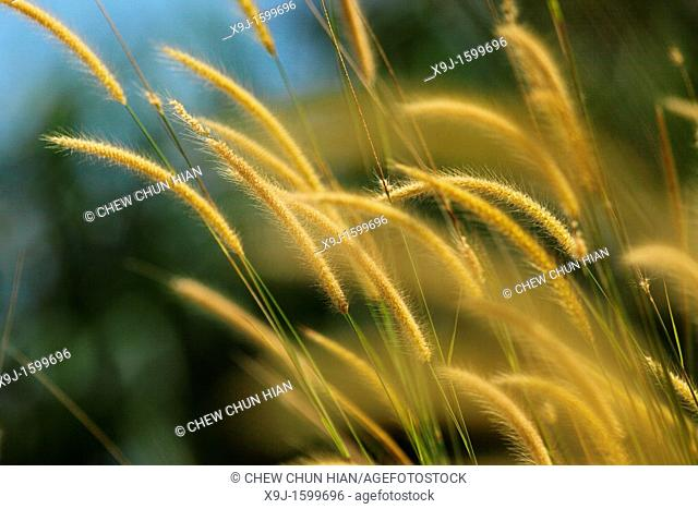 pampas grass of Borneo, borneo