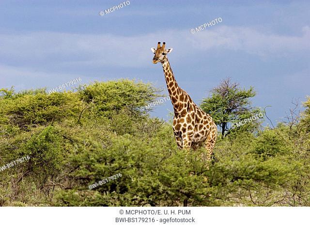 giraffe (Giraffa camelopardalis), male, Namibia, Mahango National Park