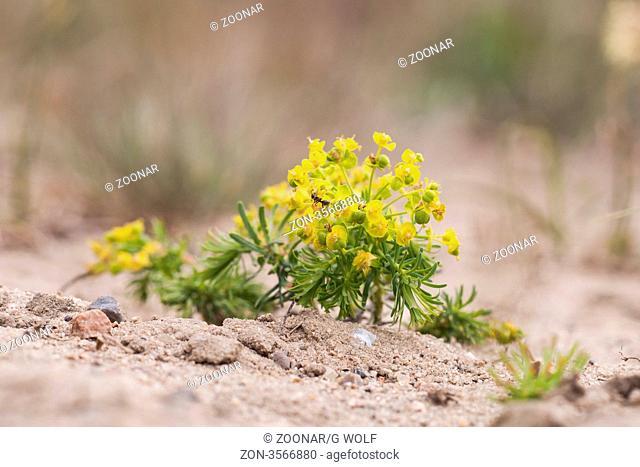 Zypressen-Wolfsmilch, Cypress Spurge Euphorbia cyparissias